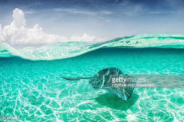 turquoise wonders - stingray stock photos and pictures