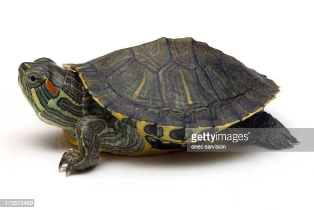 Schildkröte-01