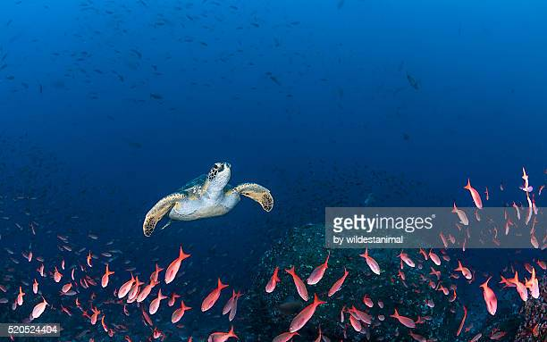 turtle amongst fish - ecosystem stock pictures, royalty-free photos & images