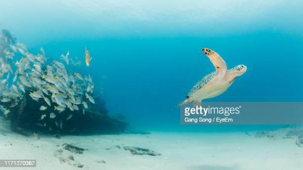 turtle and school of fish swimming in sea - undersea stock pictures, royalty-free photos & images