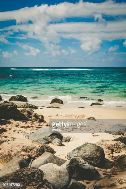turtle beach with sleeping turtle on oahu island, hawaii islands