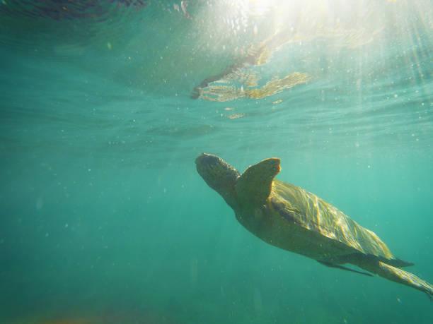 Turtle Caretta Careta, swimming to the surface of the sea, sun rays, the island of Zakynthos, Greece.