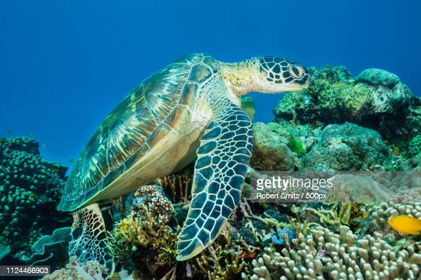turtle chilling out on the coral garden at komodo national park indonesia - east nusa tenggara stock pictures, royalty-free photos & images