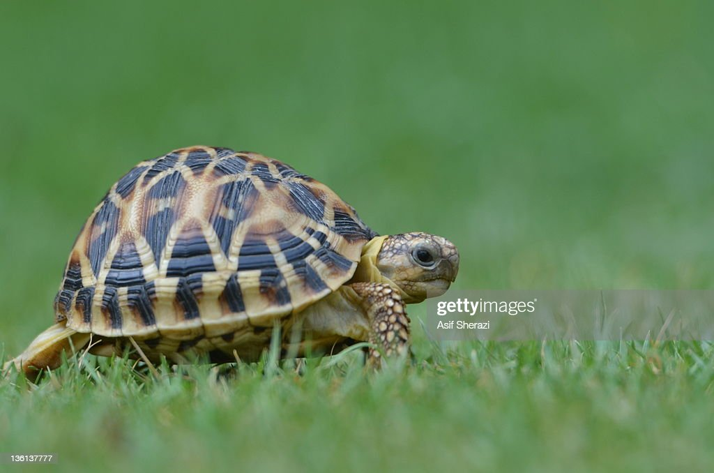 Turtle crawling on grass : Stock Photo