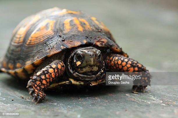 turtle crawling - box turtle stock pictures, royalty-free photos & images