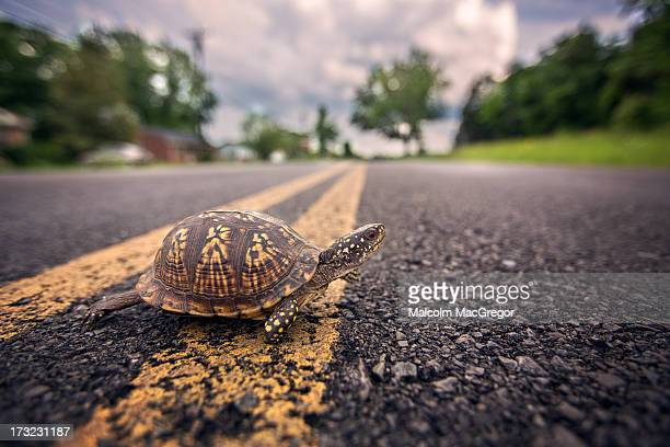 turtle crossing road - box turtle stock pictures, royalty-free photos & images