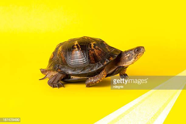 turtle crossing the finish line - box turtle stock pictures, royalty-free photos & images