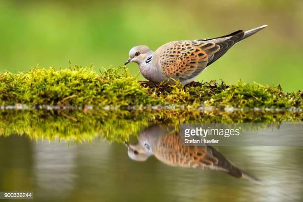 turtle dove (streptopelia turtur) at birdbath, mirroring, national park kiskunsag, hungary - turtle doves stock photos and pictures