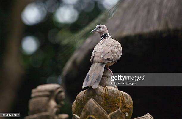 A Turtle Dove At The Hindu Temple Pura Naga Sari Is Found In The Monkey Forest Park Ubud Bali Indonesia