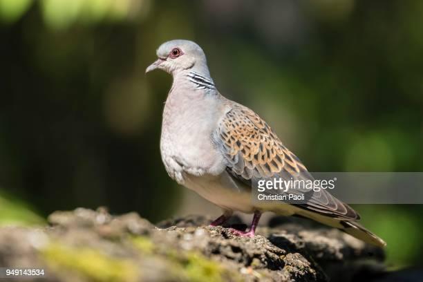 turtle dove (streptopelia turtur), bacs-kiskun, hungary - turtle doves stock photos and pictures