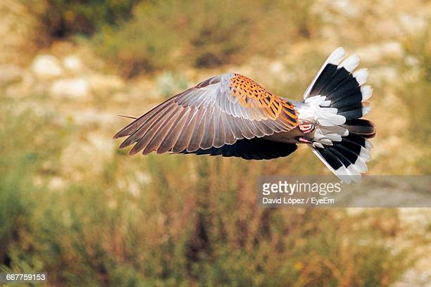 turtle dove bird flying in a sunny day - turtle doves stock photos and pictures