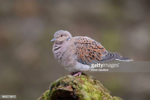 turtle dove (streptopelia turtur) perched on a rock, norfolk, england, united kingdom - turtle doves stock photos and pictures