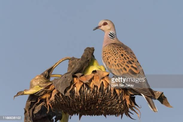 turtle dove (streptopelia turtur) - turtle doves stock photos and pictures