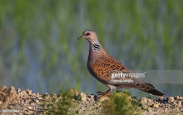 turtle dove - turtle doves stock photos and pictures