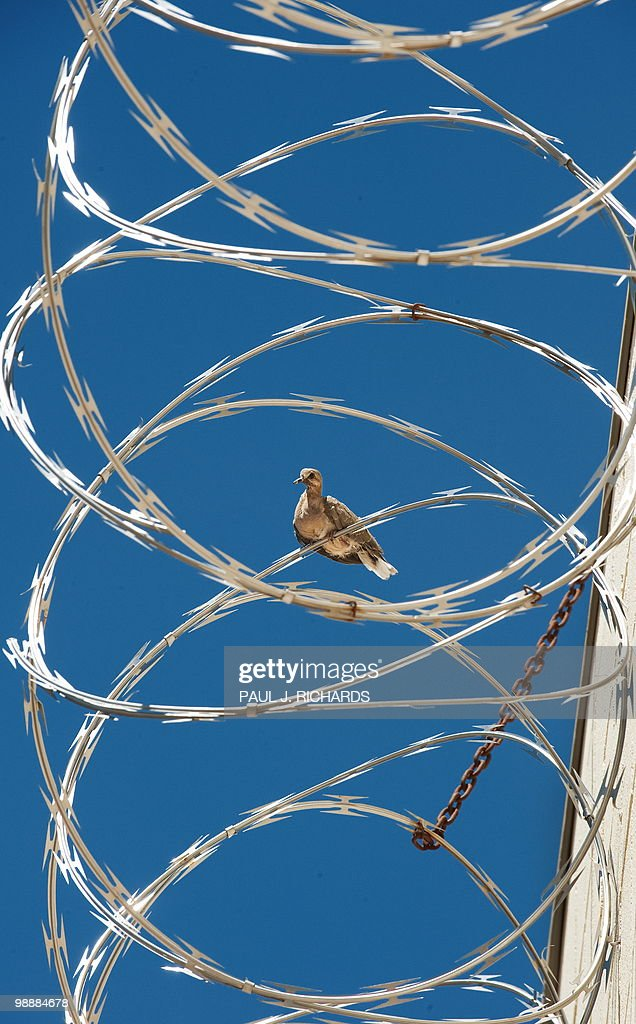 A Turtle Dove rests on the barb wire on Pictures | Getty Images