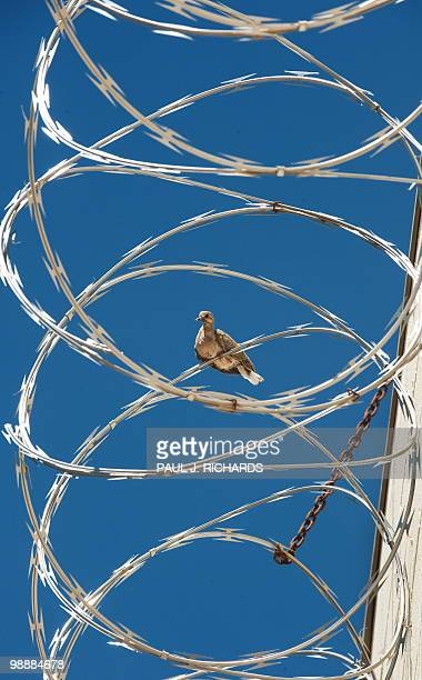 A Turtle Dove rests on the barb wire on the fence around Sheriff Joe Arpaio's Maricopa County tent city jail May 3 in Phoenix Arizona This area of...