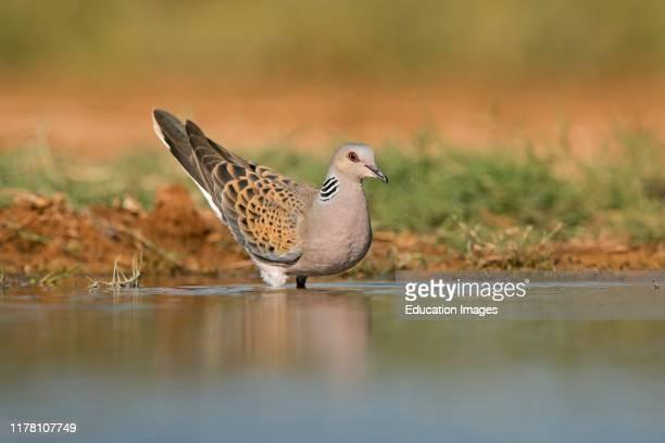 Turtle Dove Streptopelia turtur drinking at water's edge Belchite Spain