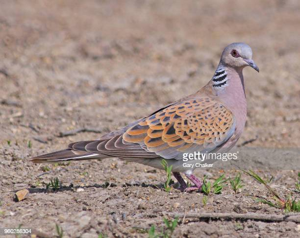 turtle dove [streptopelia turtur] - turtle doves stock photos and pictures