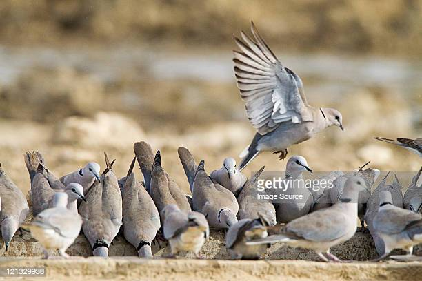 turtle doves - turtle doves stock photos and pictures