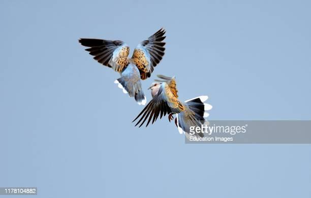 Turtle Doves Streptopelia turtur fighting in air Norfolk UK