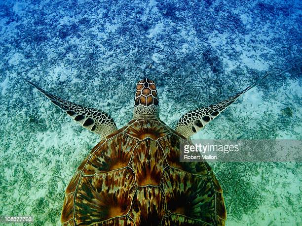 turtle from above - hawksbill turtle stock pictures, royalty-free photos & images