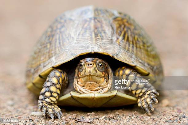 turtle, front view, close-up - box turtle stock pictures, royalty-free photos & images