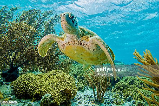 turtle garden - green turtle stock pictures, royalty-free photos & images