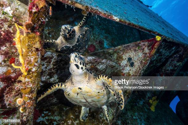 Turtle gazes at its reflection under the USS Kittiwake shipwreck in Grand Cayman, Cayman Islands.