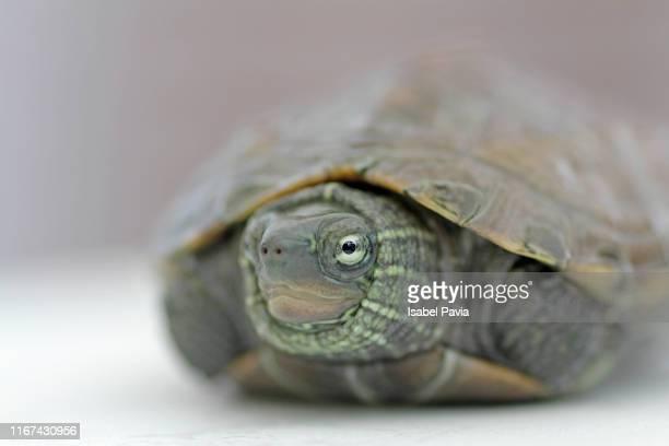 turtle hidden inside its shell - aquatisches lebewesen stock-fotos und bilder