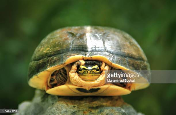 turtle hiding in his shell, medan, indonesia - turtle stock pictures, royalty-free photos & images
