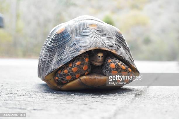 turtle hiding in shell - esconder imagens e fotografias de stock
