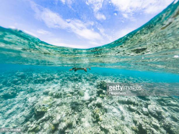 turtle in a paradisiac sea at maldives - vilamendhoo stock photos and pictures