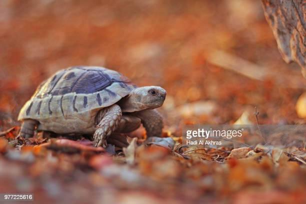 Turtle in fall