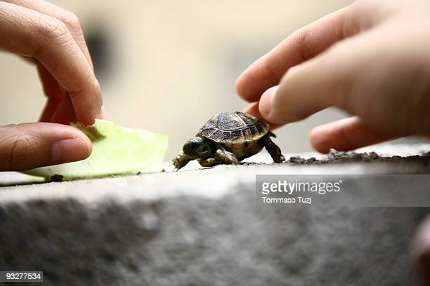 Turtle,  in human hand