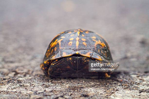 turtle in the road - box turtle stock photos and pictures