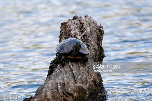 Turtle is seen at the Stony Point Battlefield historical landmark and state park which is quite during Covid-19 pandemic in New York, United States...