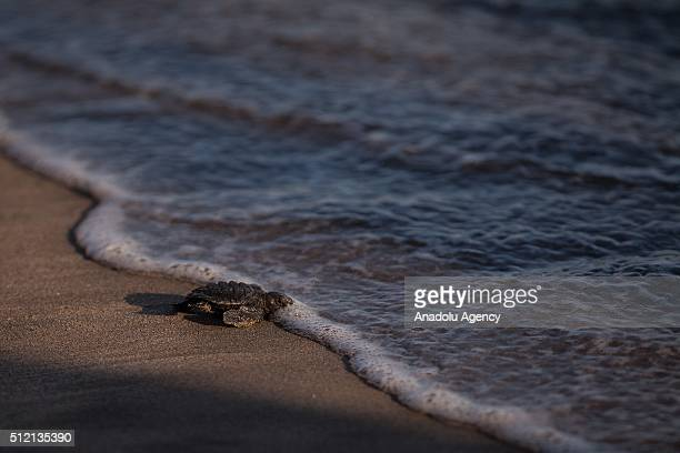 Turtle is seen during the Turtle release as part of the activities of the Mexican Open in the Princess Hotel in Acapulco Mexico on February 24 2016