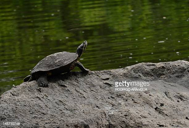 A turtle is seen in the National Biodiversity Institute on May 31 2012 in Heredia Costa Rica Next June 5 celebrates World Environment Day AFP PHOTO/...