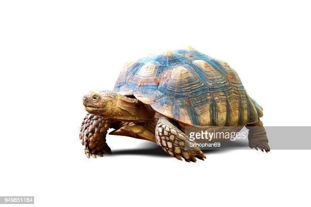 turtle isolated on white background - tortue photos et images de collection