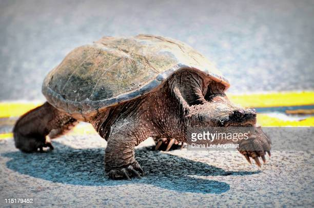 turtle jaywalker - rye new york stockfoto's en -beelden