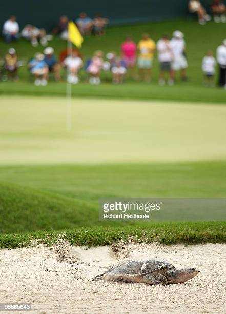 A turtle kicks up sand in a bunker on the 16th during a practice round prior to the start of THE PLAYERS Championship held at THE PLAYERS Stadium...