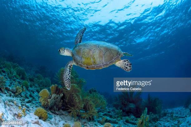 turtle, klein bonaire - klein stock pictures, royalty-free photos & images