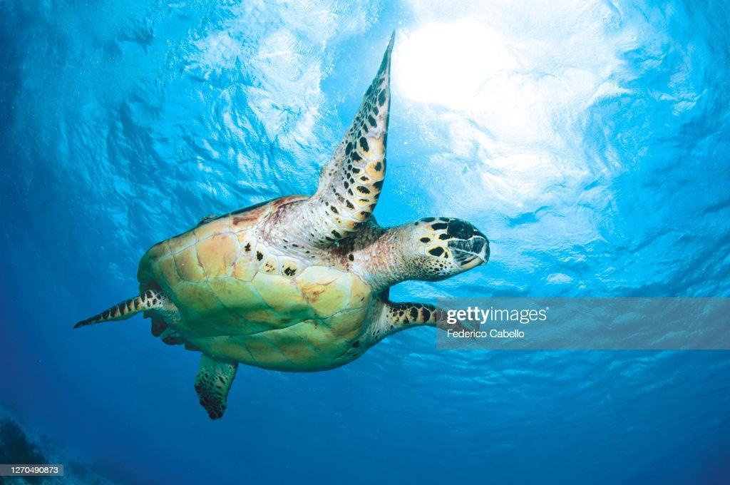 Turtle, Klein Bonaire : ストックフォト
