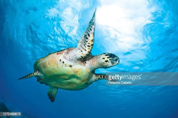 turtle, klein bonaire - カリブ海オランダ領 ストックフォトと画像