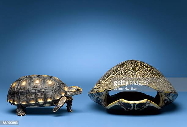 Turtle looking at larger, empty shell