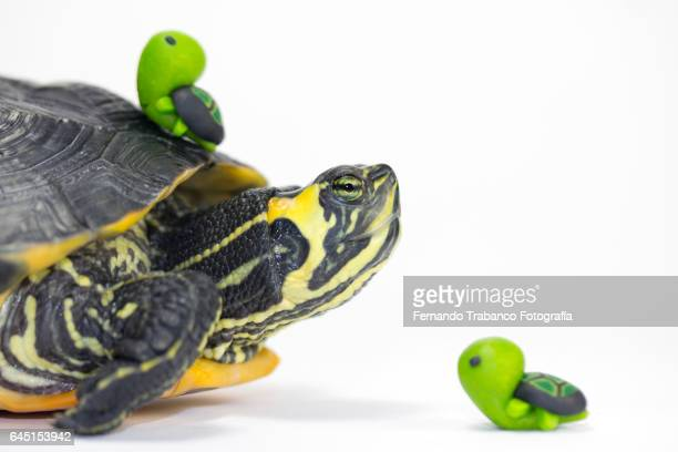 Turtle mother with two small turtles