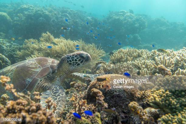 turtle ocean diving among the coral - denpasar stock pictures, royalty-free photos & images