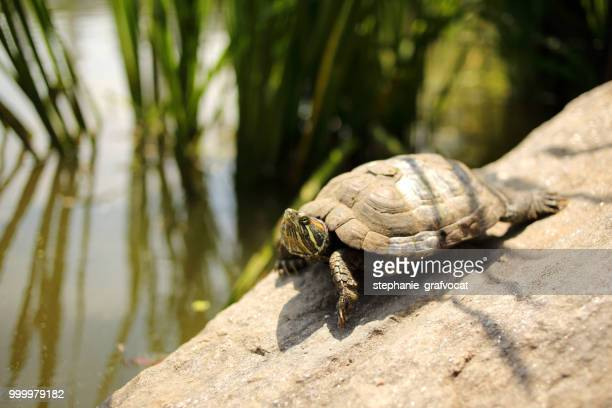 Turtle on a wall by a pond, Central Park, Manhattan, New York, America, USA