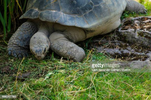 turtle on field - colman stock photos and pictures
