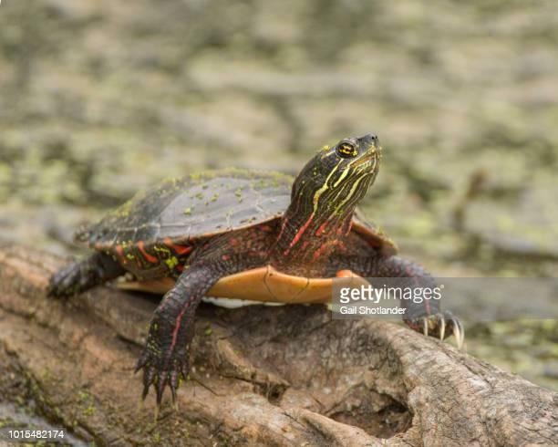 Turtle on the Log